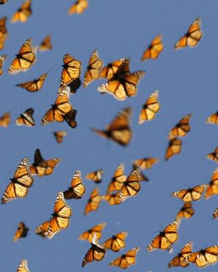 Monarch butterflies flying |Funny Animal