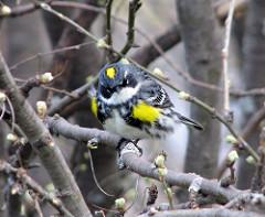 Duluth Audubon Warbler Walks