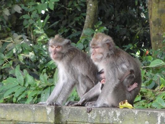 Hutan Kera Suci Alas Kedaton - Kukuh Marga Tabanan, Bali, Liburan, Rekreasi, Objek Wisata, Tur