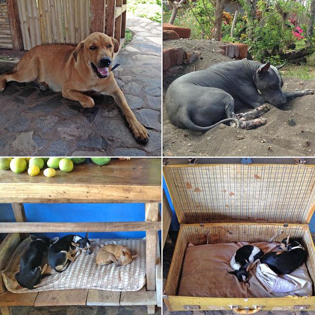 Les chiens à la Finca Montania Sagrada