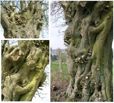 Hainbuche, bizarrer Stamm, Pfefferkuchenbaum