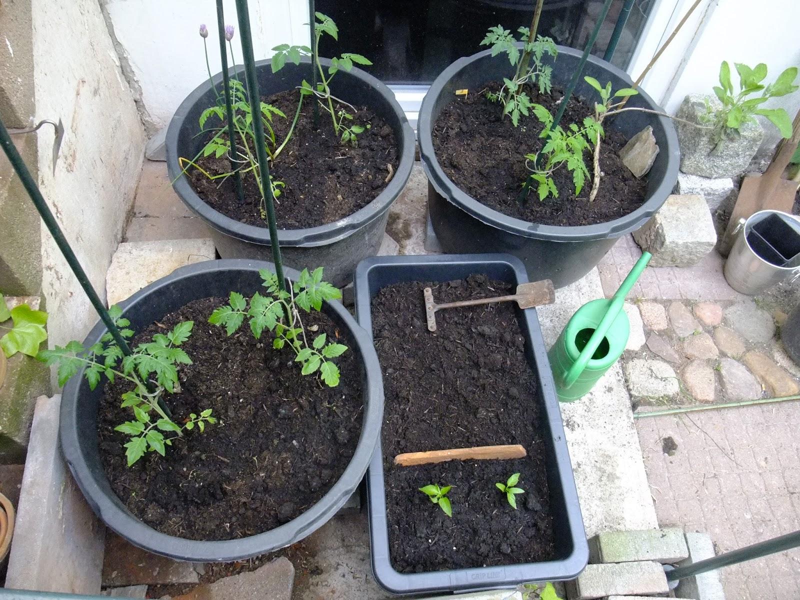 Klettergerüst Tomate : Teamworkart: gärtnern und bloggen update nach 6 wochen :