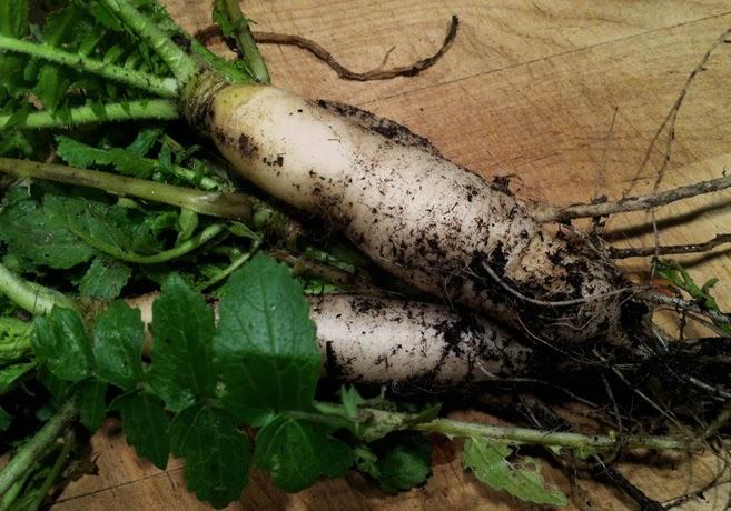 Daikonrötter på en skärbräda.