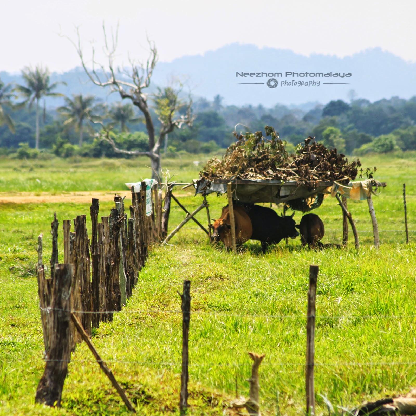Lembu berteduh dari panas terik matahari
