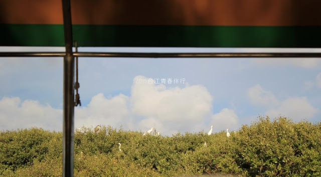 紅樹林為白鷺鷥重要的棲地。