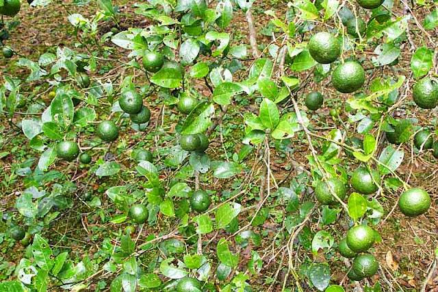 close up, mikan fruits, みかん