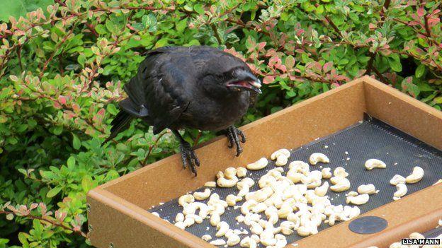 Os corvos são alimentados por uma criança que lhes dá amendoins