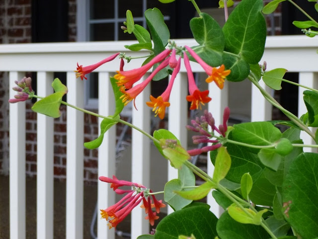 Lonicera sempervirens, Coral Honeysuckle