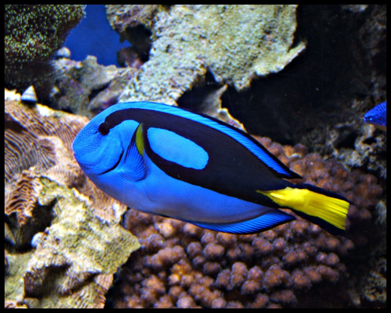 Blue tang fish wallpapers funny animals for Blue tang fish facts
