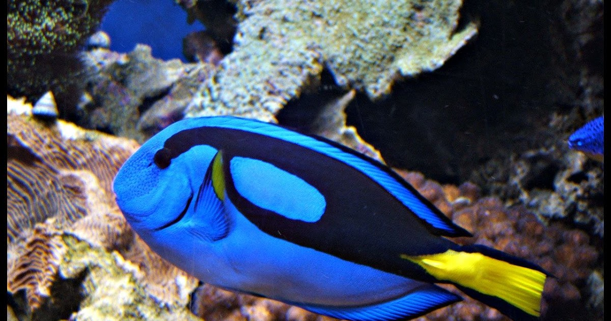 blue tang fish wallpapers pets cute and docile