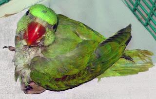 Alexi the baby Parakeet
