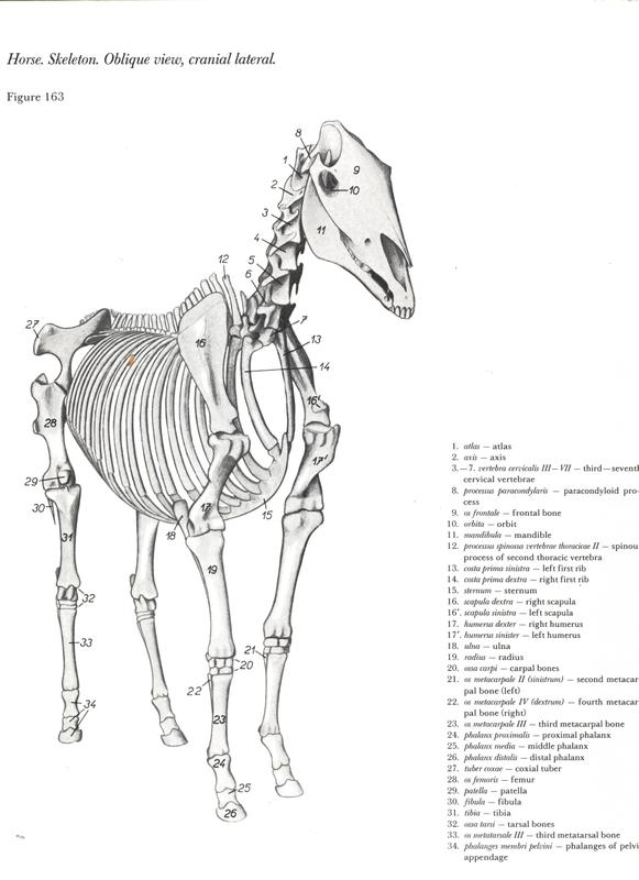anatomy of the horse free pdf vet ebooks