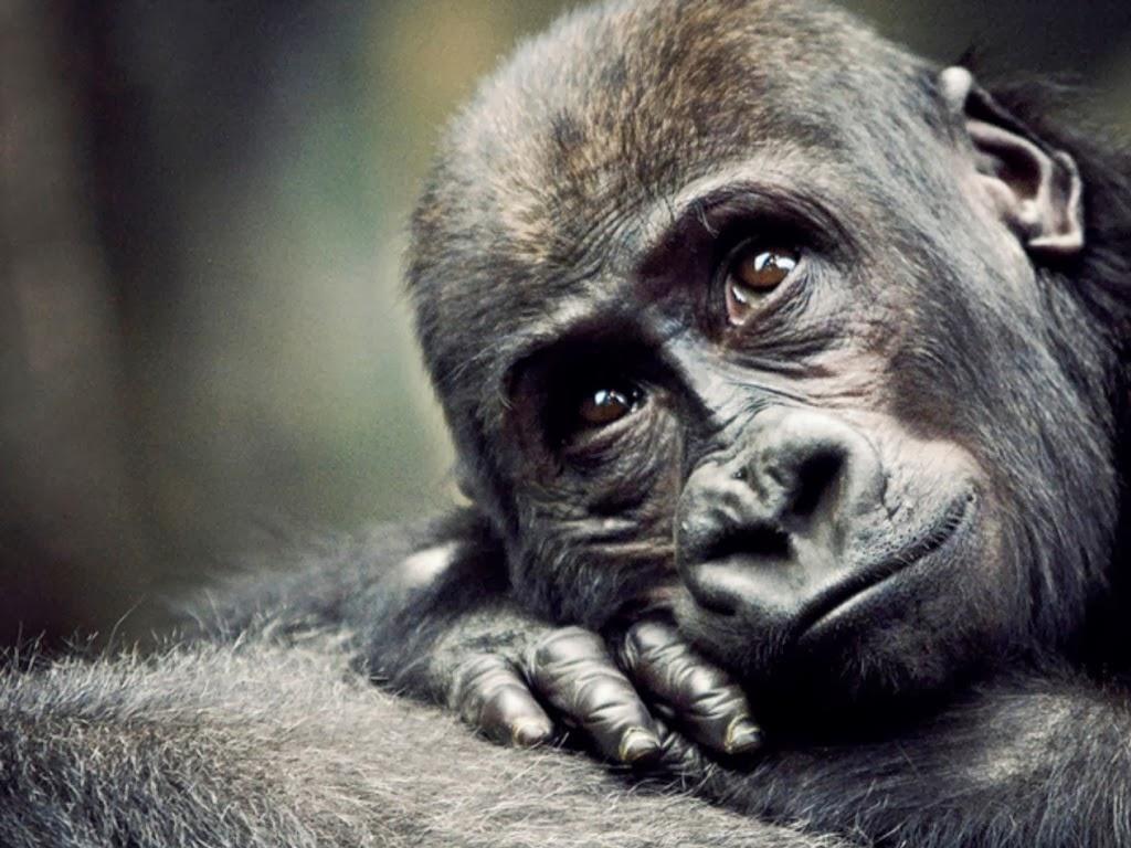 "<img src=""http://1.bp.blogspot.com/-hbe-OrIFpMk/UtkNgxmxlAI/AAAAAAAAIcg/w0Nrpz_mck8/s1600/animal-wallpapers-primates.jpeg"" alt=""sad gorilla"" />"