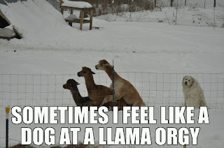 sometimes I feel like a dog at a llama orgie