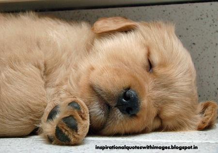 picture of baby golden retriever