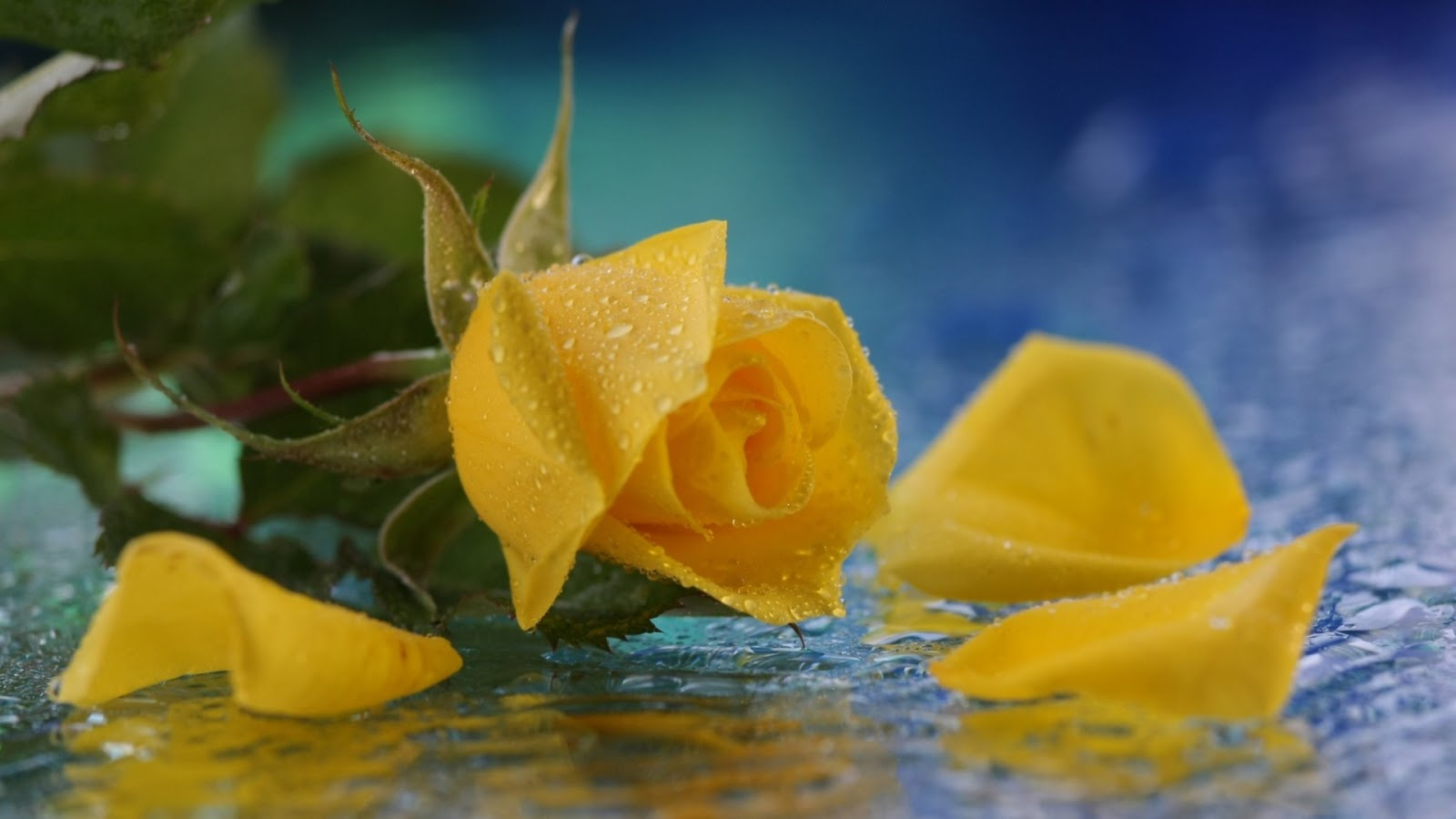 yellow roses with water drops - photo #1