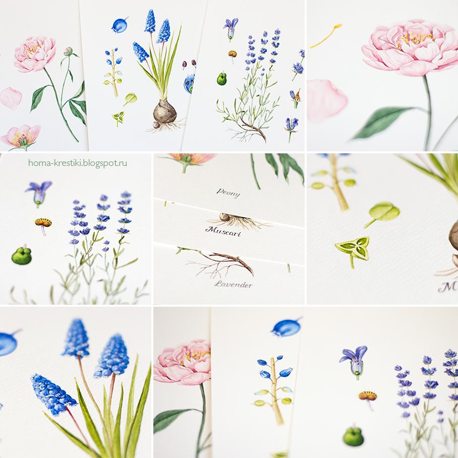акварель, ботаническая иллюстрация, пион, мускари, лаванда