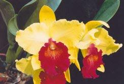 กล้วยไม้สวยๆ กลิ่นหอมๆ  จาก Tek Palm and Orchids 0815322727