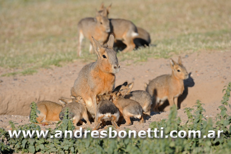 Mara Patagonica con sus crías - Patagonian Hare with their babies - Península Valdés - Patagonia - Andrés Bonetti