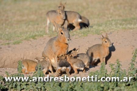 Mara Patagonica con sus crías - Patagonian Hare with their babies - Península Valdés - Patagonia - Andrés Bonetti