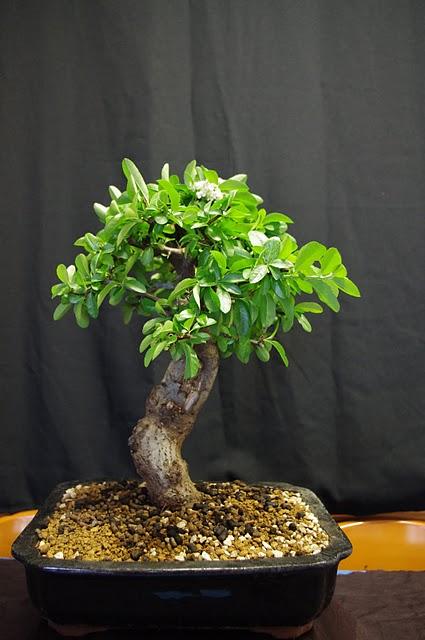 Procoleccionismo una colecci n de bons is for Estanterias para bonsais