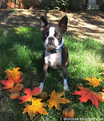 Boston terrier and fall photo props