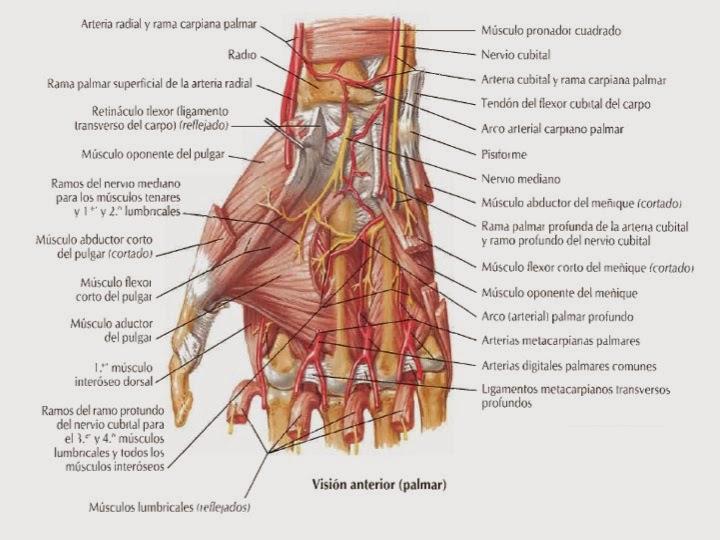 FCM-UNAH Anatomía Macroscópica: Músculos de la Mano