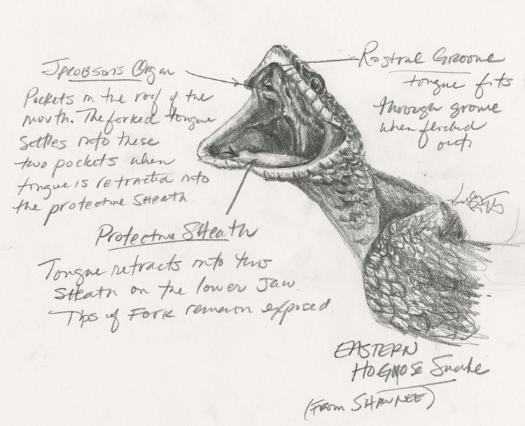 Pencil sketch of the open mouth of an Eastern Hognose Snake with Jacobson's Organ, protective sheath, and rostral groove labeled (by Kelly Riccetti)