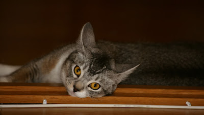 Black Abyssinian Cat for sale