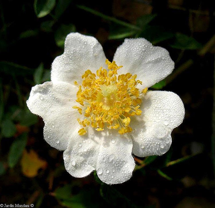 La rosa alejandrina en Anónimo
