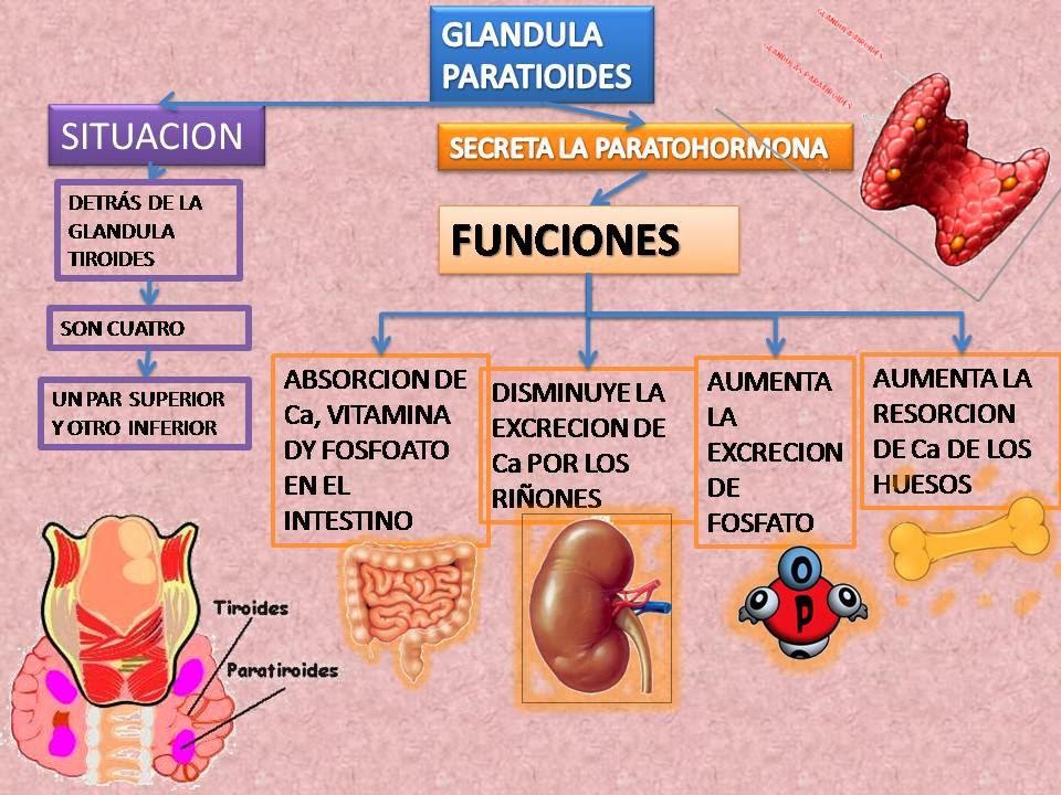 Dorable Anatomía Y Fisiología De La Glándula Tiroides Ppt ...