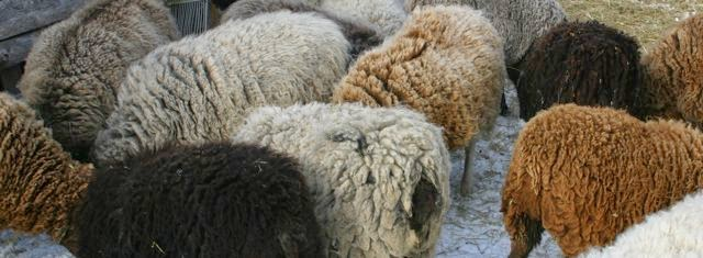 Manitoba Fleece on the Hoof