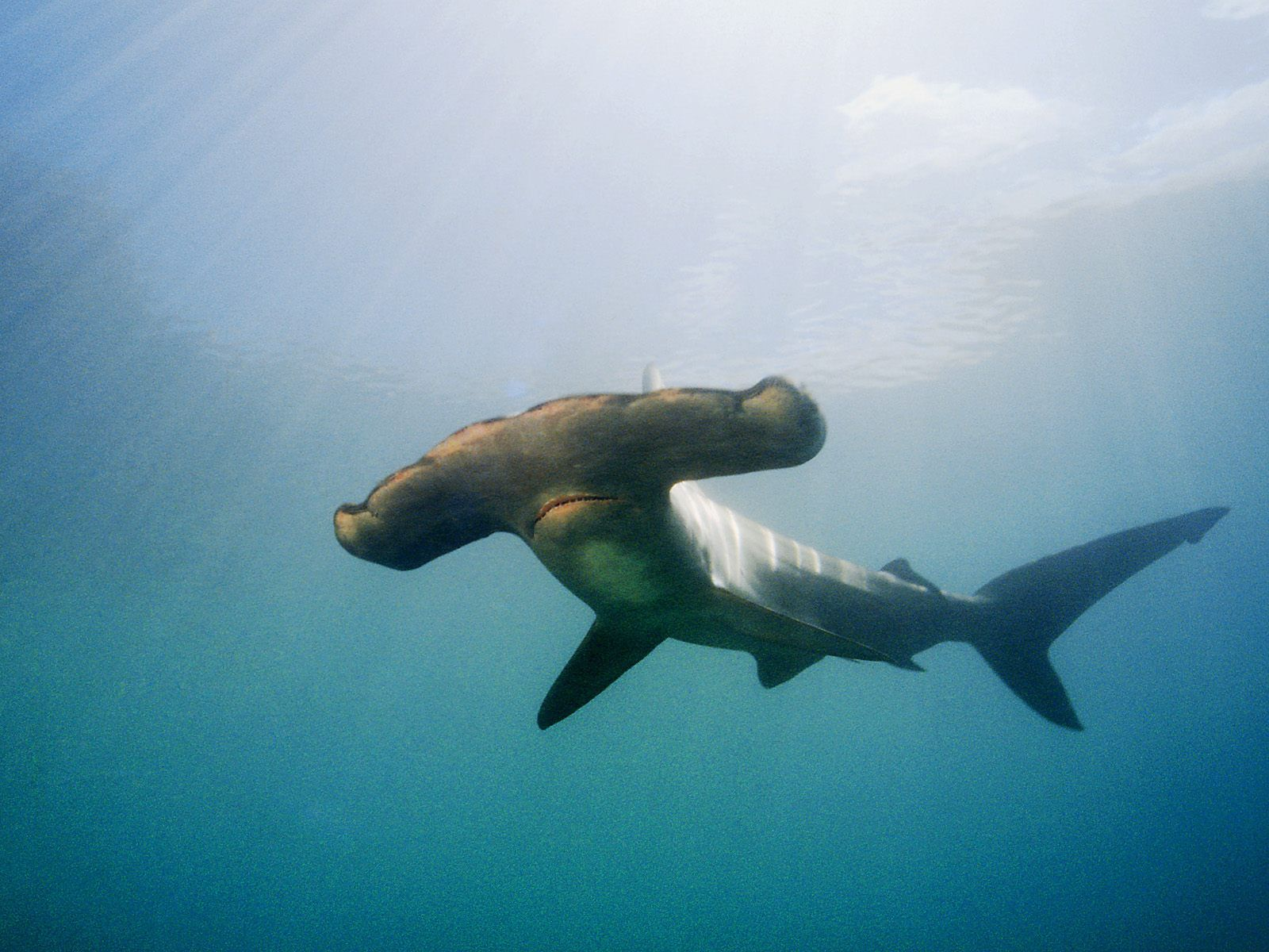 Hammerhead shark - photo#9