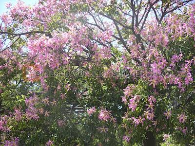 árbol Palo Borracho