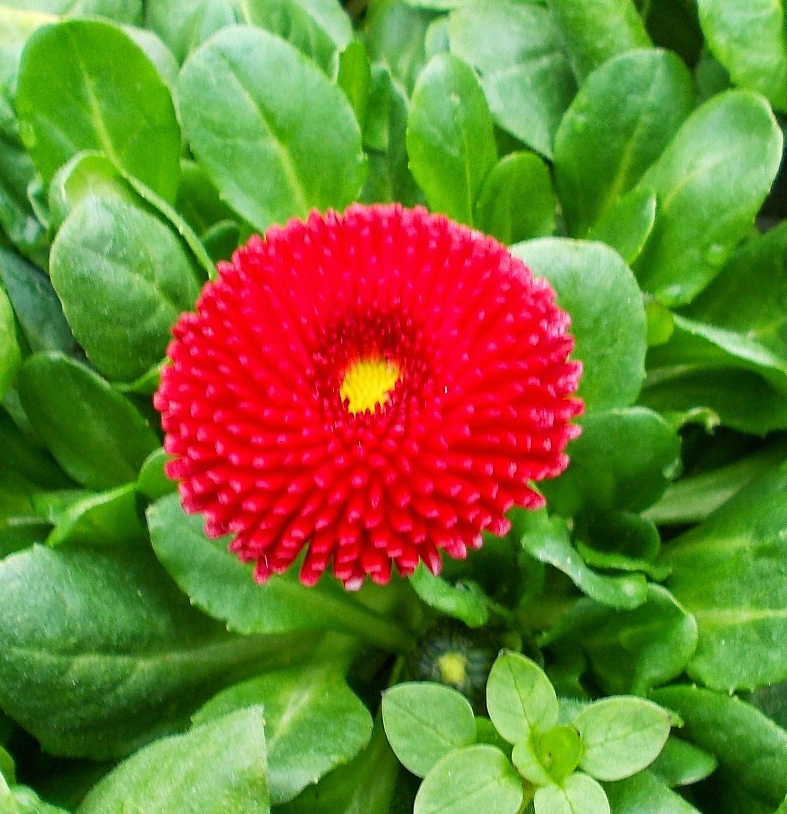 Flori Balta Doamnei Ochiul Boului