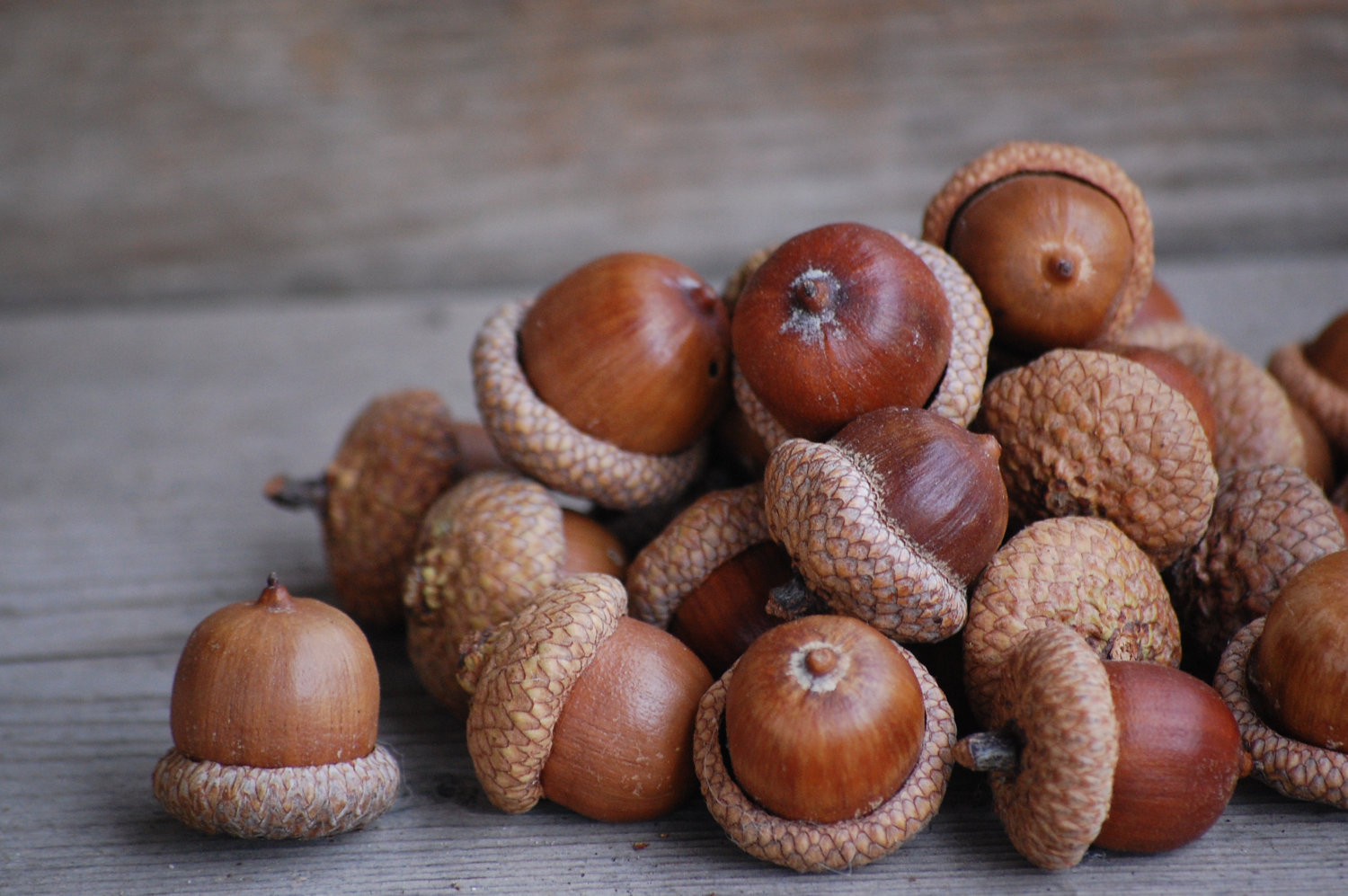 temperate climate permaculture how to eat acorns