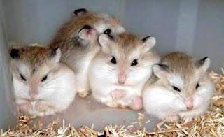 Trại bọ ú: Hamster, bọ ú, guinea pig, thỏ kiểng. Sỉ và lẻ! - 35
