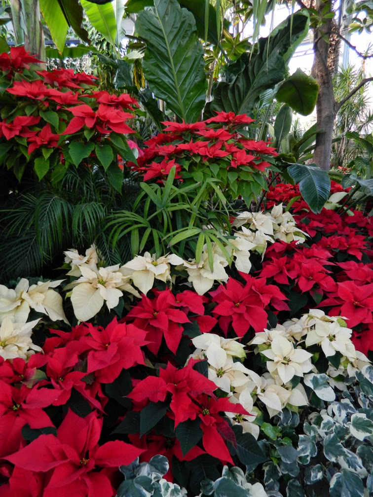 White red poinsettias Allan Gardens Conservatory Christmas Flower Show 2014 by garden muses-not another Toronto gardening blog