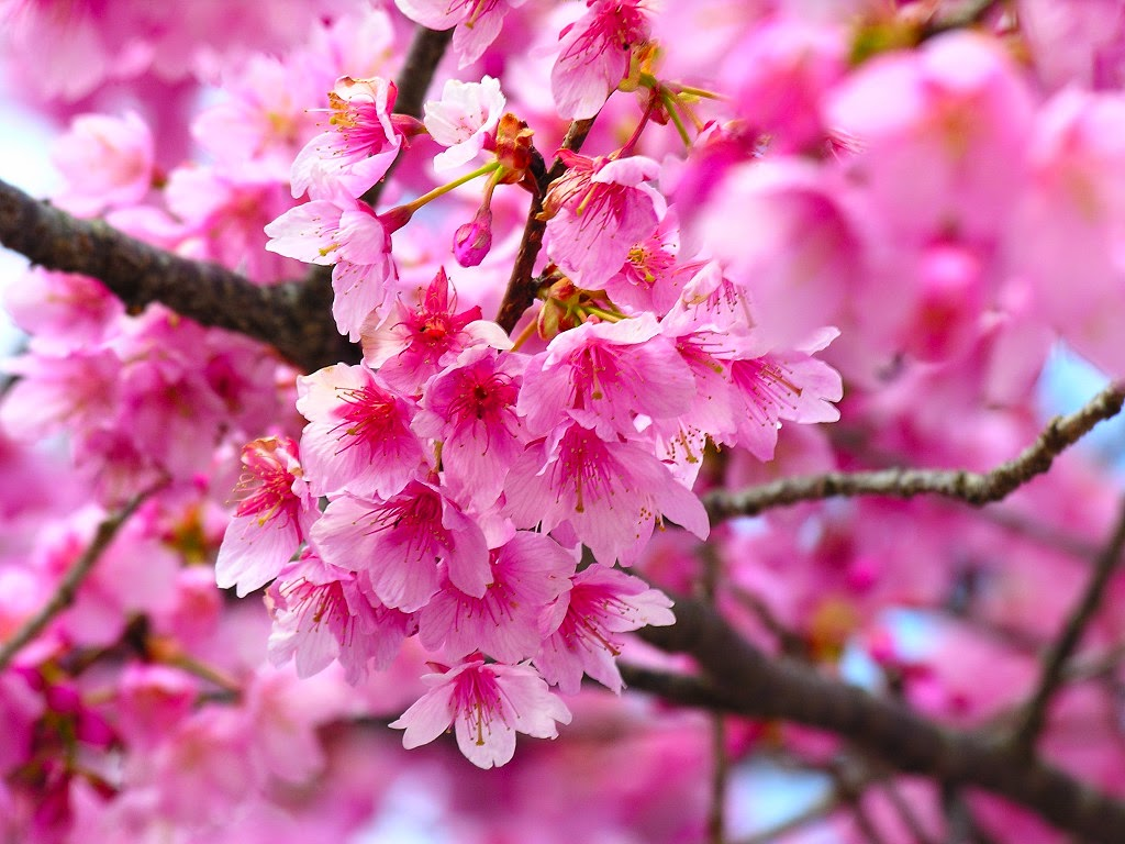 Flower photos most beautiful flowers in the world cherry blossom the most popular colors of cherry blossoms are white and pink they are undoubtedly one of the most beautiful flowers in the world izmirmasajfo