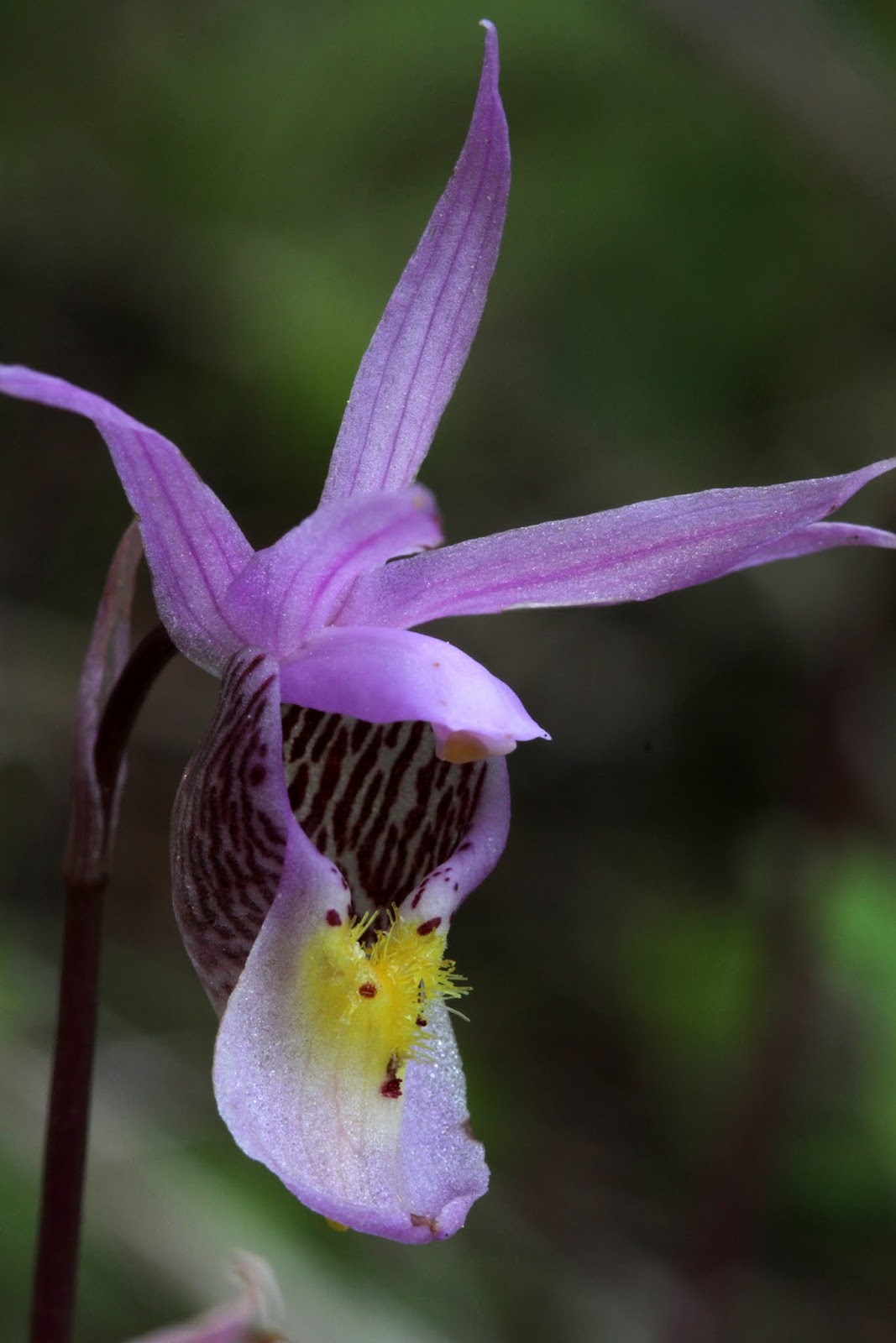 Native orchids of the pacific northwest and the canadian rockies ninth week of the native orchid season yellow ladys slippers eastern fairy slippers and four coralroots mightylinksfo