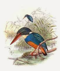 Martín pescador pecho azul Ceyx cyanopectus