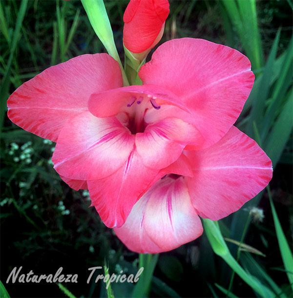 Flores características de los gladiolos, género Gladiolus