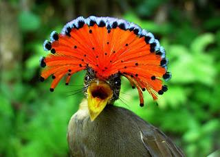Amazonian Royal Flycatcher - Hewan Aneh