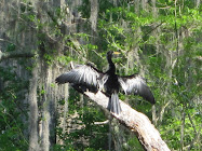 A cormorant dries its wings