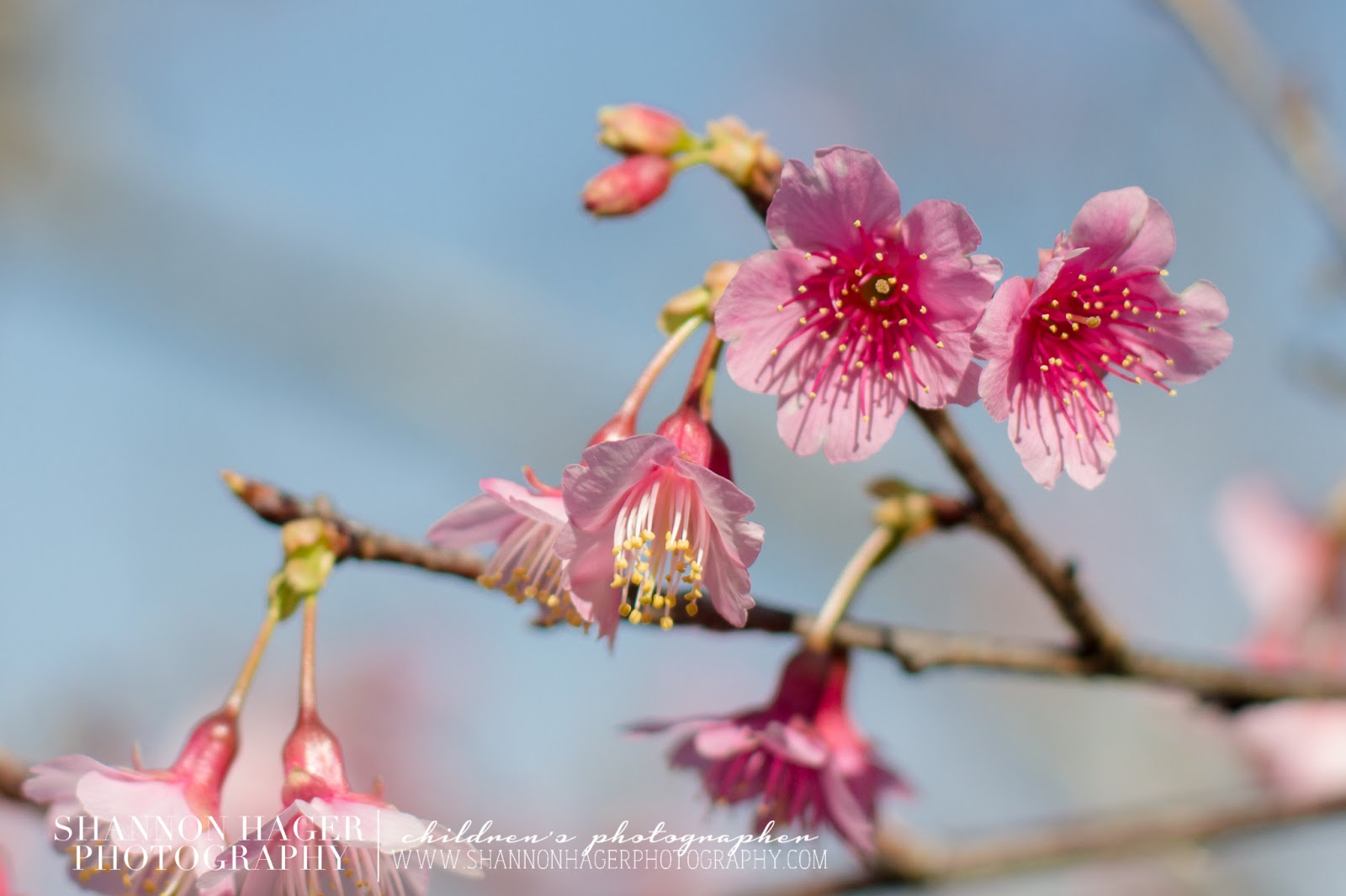 Cherry Blossom at Nakagusuku Castle by Shannon Hager Photography