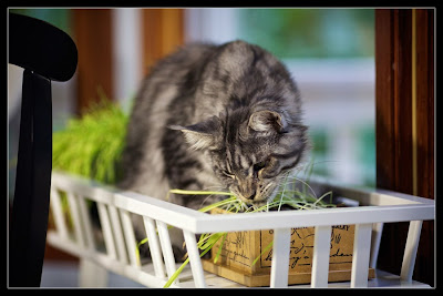 Stalone, the Maine Coon, eating grass