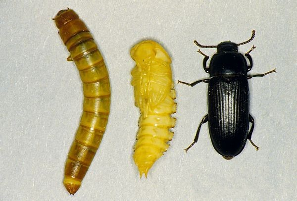 mealworms insect and adult yellow beetle Methods and materials animals the yellow mealworm beetle, tenebrio molitor l, was reared at 25 as described by wyniger (1974) adult beetles were collected daily beetles of one, three, nine and eleven days old were injected with 022 p ci of 23,24-'h[n]-ecdysone (27 pmol) dissolved in 2ltl of 10% ethanol.