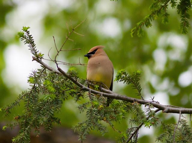 Cedar Waxwing - Central Park, New York