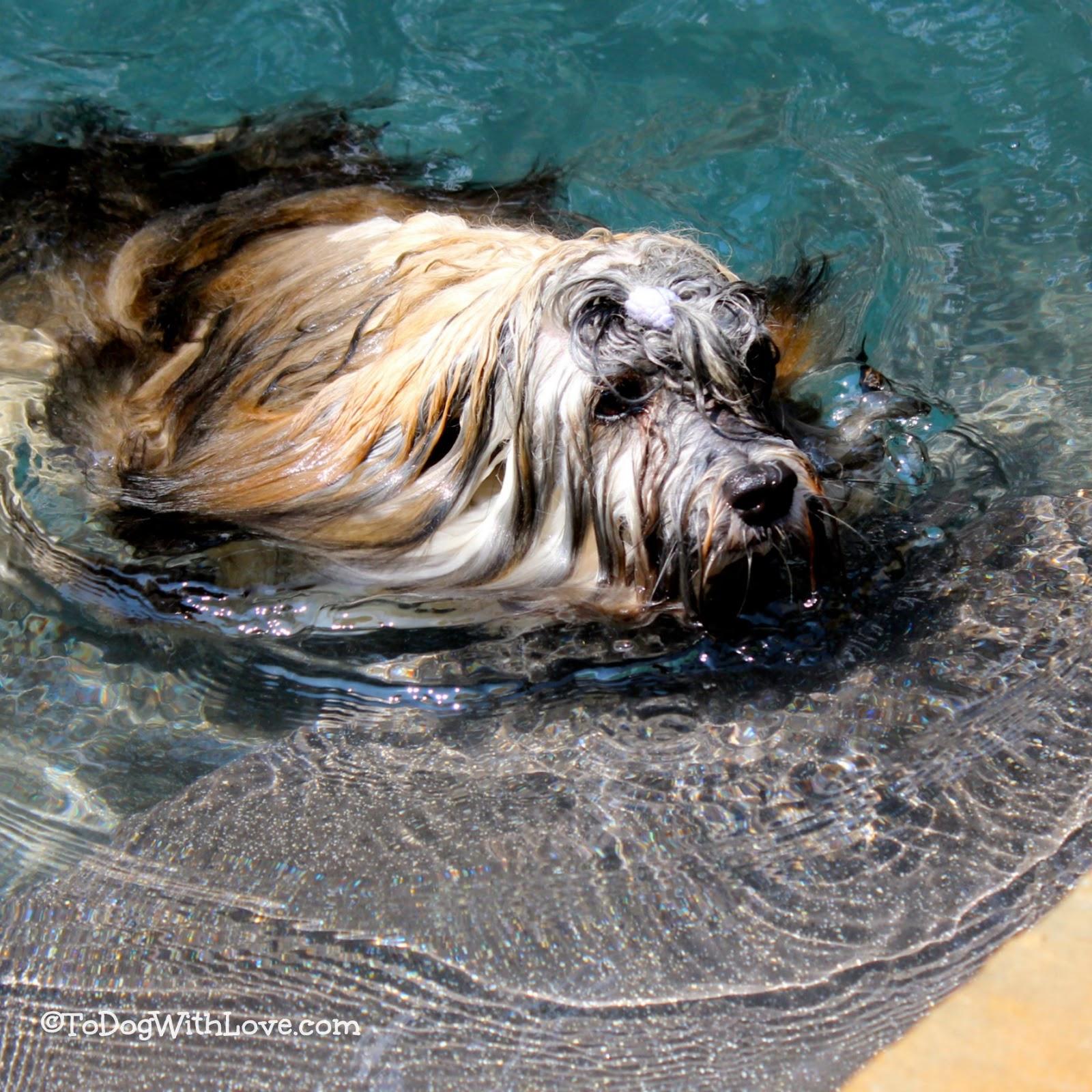 Can Havanese Dogs Swim