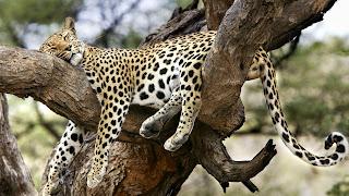 Sleeping Leopard Wallpaper